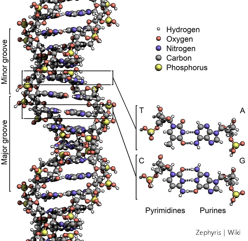 DNA_Structure