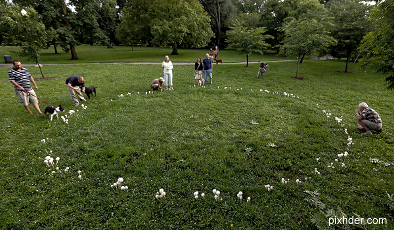 Park goers examine a ring of mushrooms sprouting in Schiller Park July 10, 2013. The ring of mushrooms are known as a fairy ring. (Dispatch photo by Eric Albrecht)