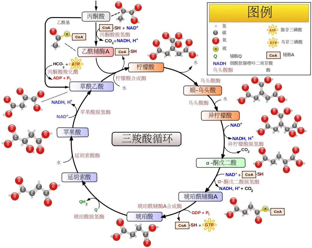 Citric_acid_cycle