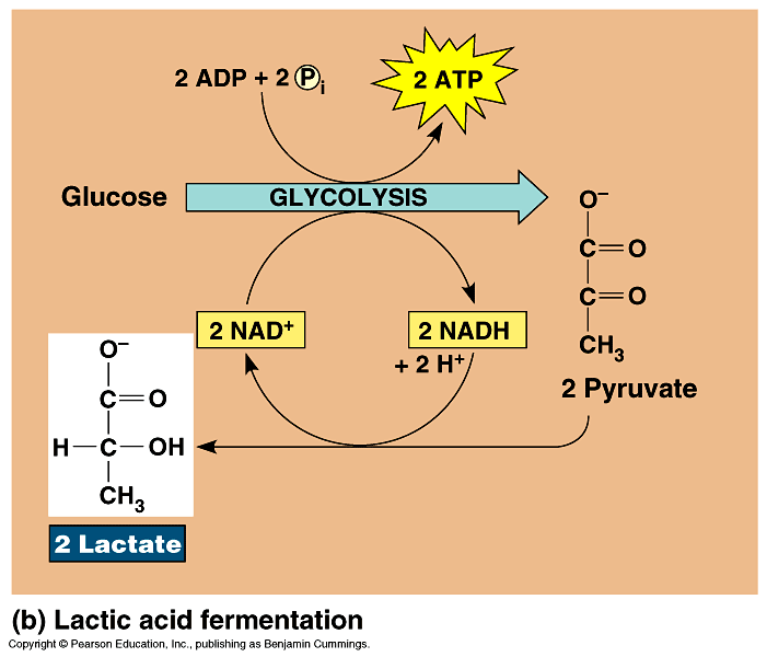 lacticacid